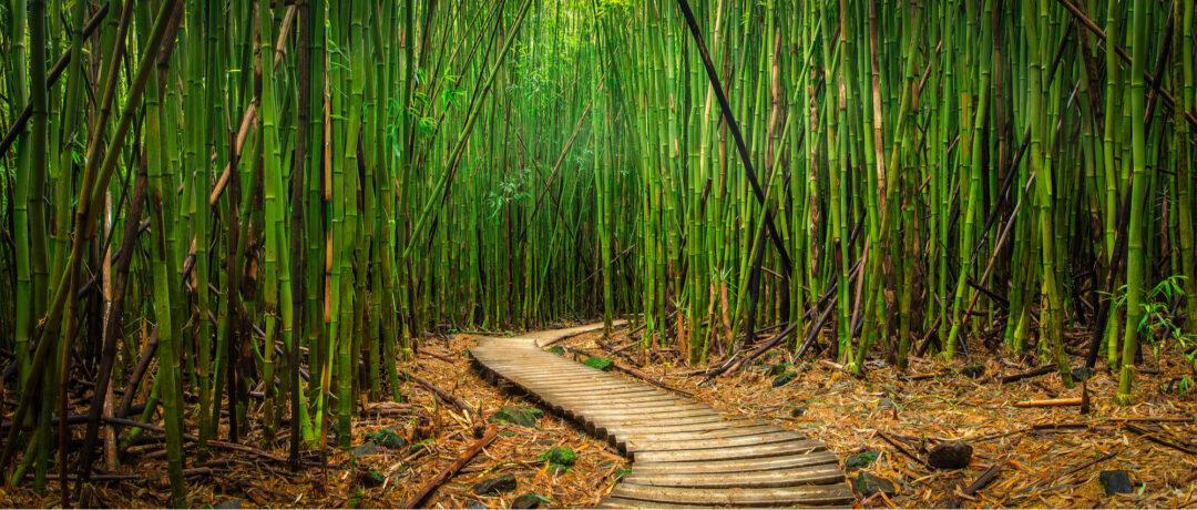 Plantation de bambou pour la production de produits avec des ressources naturelles.